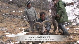 Video BLUE SHEEP BHARAL HUNTING (Chasse) HIMALAYAN NEPAL by Seladang download MP3, 3GP, MP4, WEBM, AVI, FLV Juni 2018