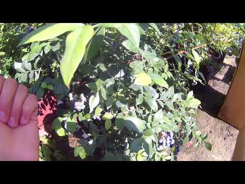 Голубика сорт Торо . Урожайность и краткое описание сорта .