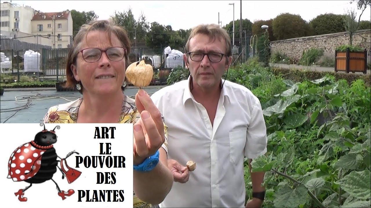 Culture Et Entretien De La Rhubarbe tuto jardin: physalis peruviana: semis: plante annuelle