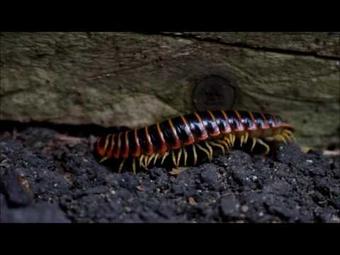 North American Millipede - Fred