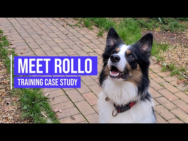 Recall and obedience training for a Border Collie