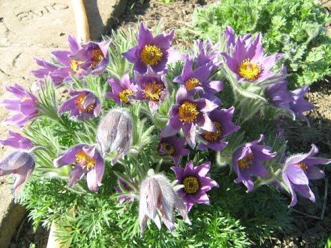 Садовые цветы — декоративные цветущие растения.