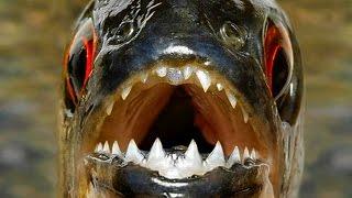 видео Рыба дракон