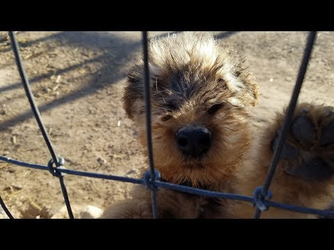 Airedale Terrier for sale - Airedale Terrier puppy