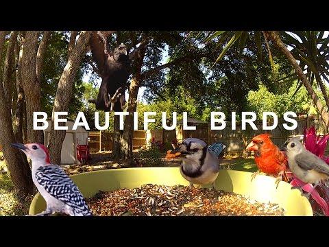 Beautiful Songbirds - Woodpeckers, Larks, Cardinals, Blue jays