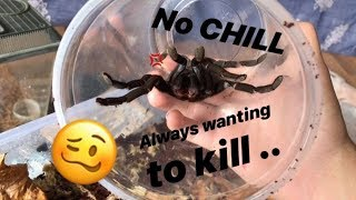 So much STRESS just to re-home my MOST DEFENSIVE TARANTULA ..