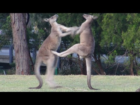 Male Kangaroos fighting