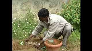 Cultivation practices of bush jasmine