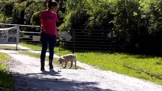 Puppy Leash Training Labrador Cotton Flexi Leash