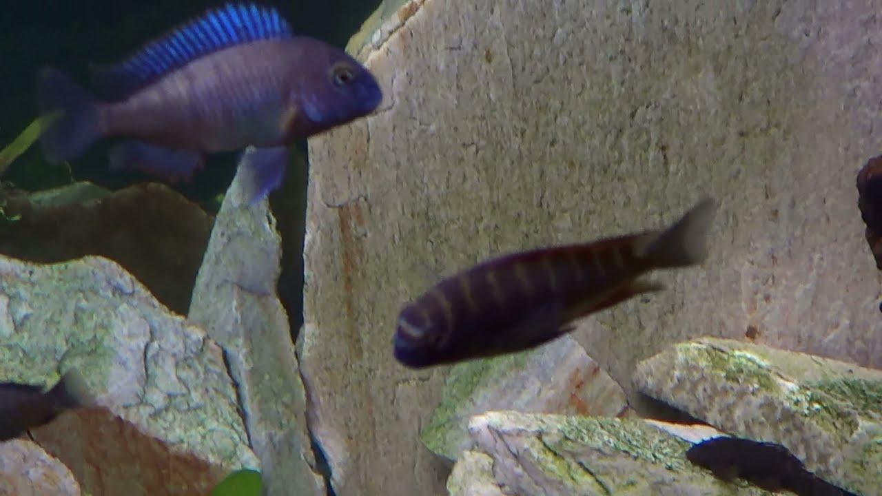 Purple african cichlids