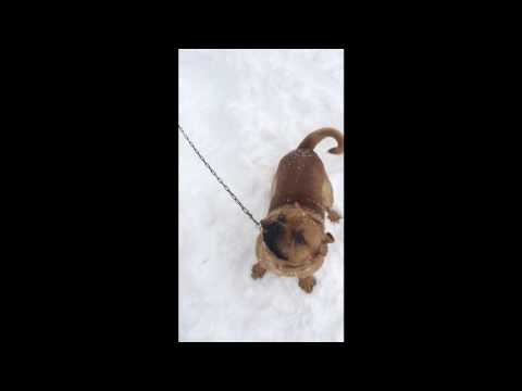 Pitbull/Pug Mix Playing In Maine Snow