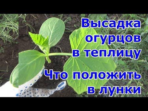 Как посадить рассаду огурцов в теплице видео