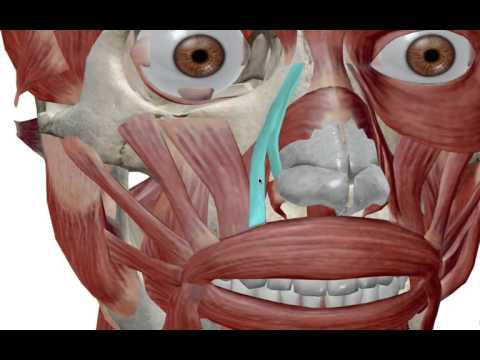 Facial Muscles: Muscles of Expression
