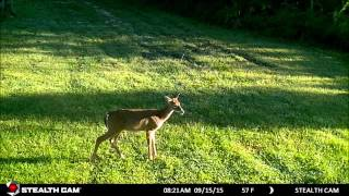 Baixar Turkey & Deer on the trail cam this week @ St. Bernard Acres