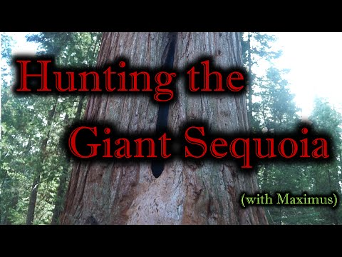 Hunting the Giant Sequoia