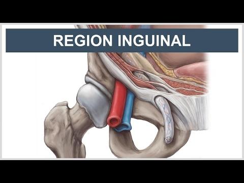 Anatomía de la región de la ingle - YouTube