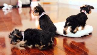 Puppies for Sale - SYDNEY / HENRY / ARCHIE / CAM - Yorkies