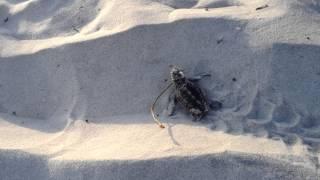 South Walton Turtle Watch Video 2