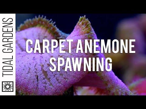 Mini Maxi Carpet Anemone Spawning