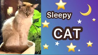 Sleepy cat fell asleep [Balinese cat : hypoallergenic cat breed]