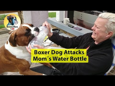 Boxer Dog Attacks Mom´s Water Bottle
