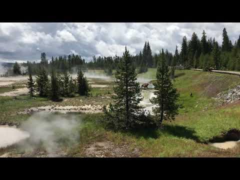 Yellowstone: Bear Attacks Elk