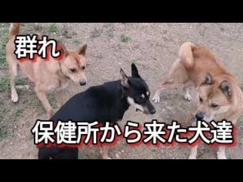 保健所から来た犬達の群れ Dog Rescue