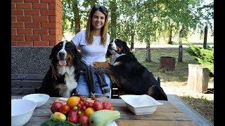 Бернский зенненхунд - натуральное кормление собак (Летний салат)