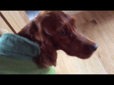 Irish Setter Honey missing her favourite man.