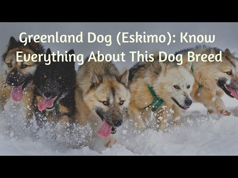 greenland-dog-(eskimo):-know-everything-about-this-dog-breed