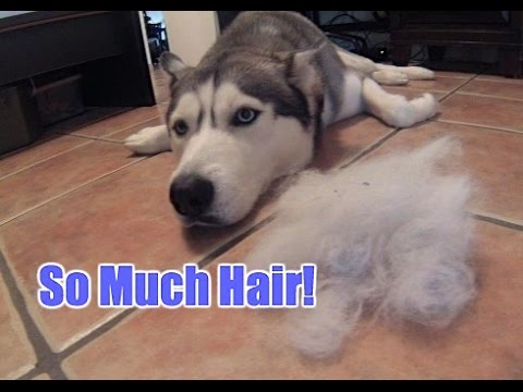 Image result for husky dog, sweep and vacuum more dog hair
