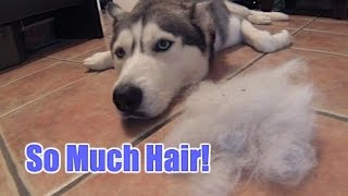 Husky Shedding (How Much Can You Gather On Vacuum?)