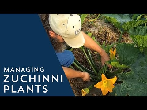 How To Manage Zucchini Plants Youtube