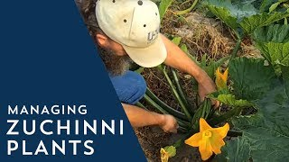 How to Manage Zucchini Plants