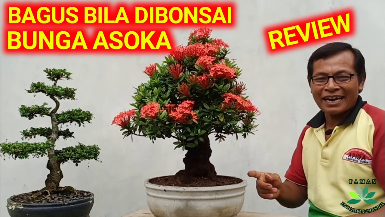 Review Bentuk Bonsai Bunga Asoka Ixora Coccinea Youtube