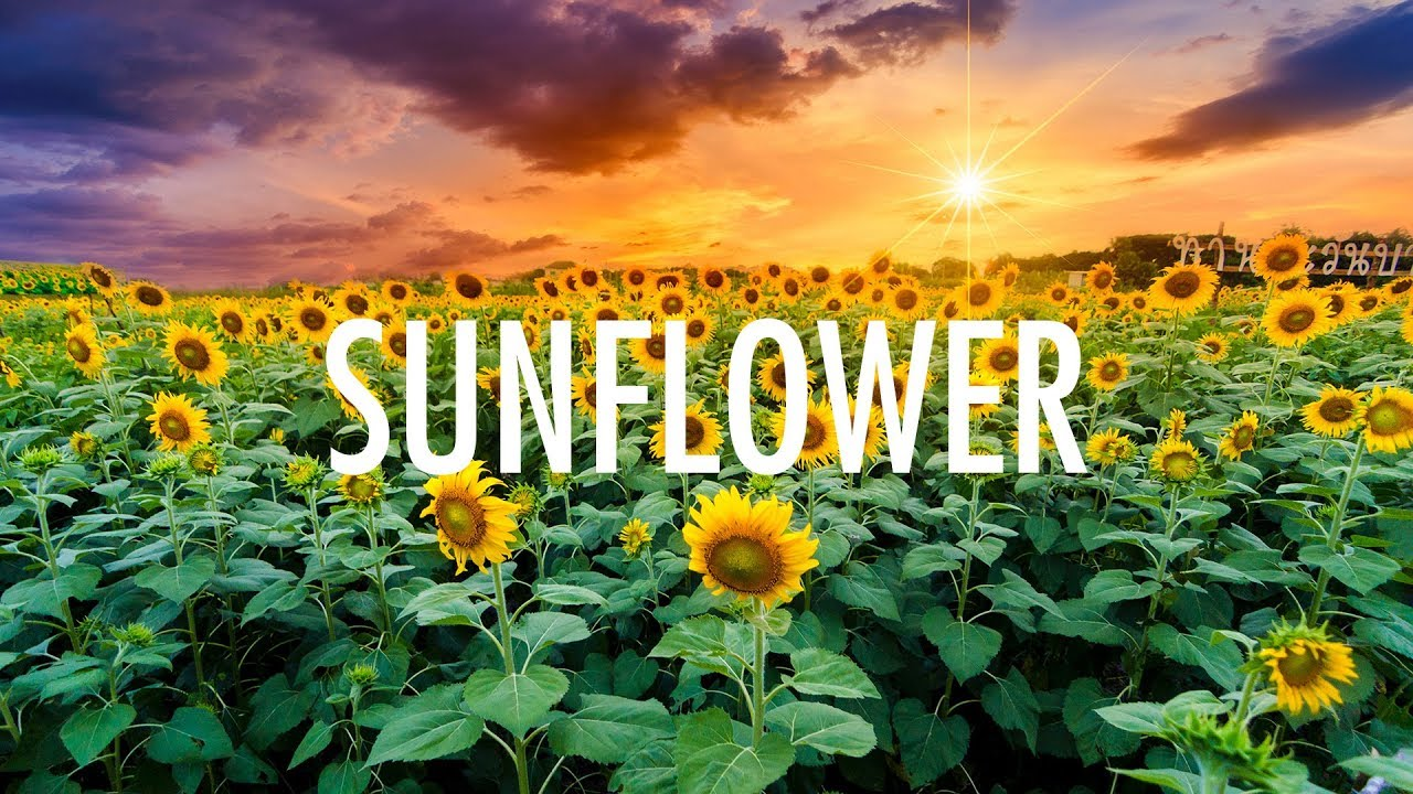 post malone swae lee sunflower lyrics youtube