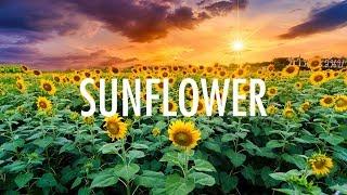 Download Post Malone, Swae Lee – Sunflower (Lyrics) 🎵 Mp3 and Videos