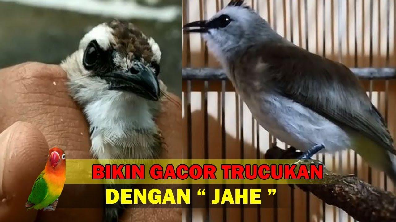 Resep Bikin Gacor Burung Trucukan Dengan Jahe Youtube