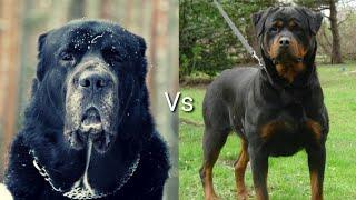 Алабай против Ротвейлер! КТО СИЛЬНЕЕ?Alabay VS Rottweiler!WHO IS STRONGER?