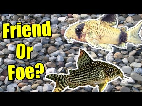 The TRUTH About Keeping CORYDORAS ON GRAVEL