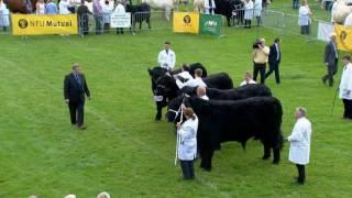 Teirw Du Cymreig | Welsh Black Bulls
