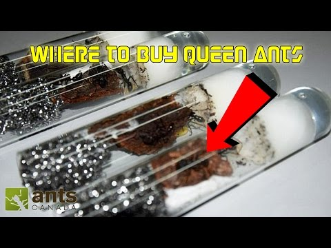 Where to Buy Queen Ants | Getting Started in Ant Keeping 101