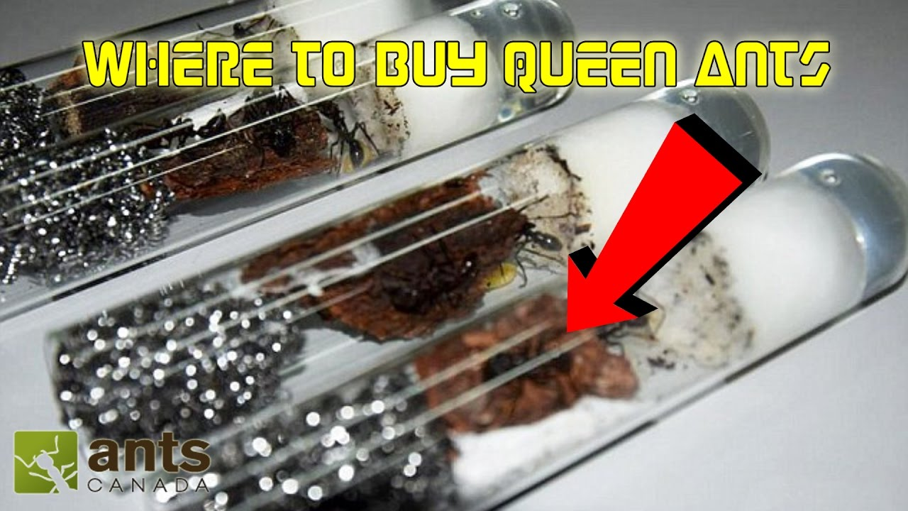 Where to Buy Queen Ants  Getting Started in Ant Keeping
