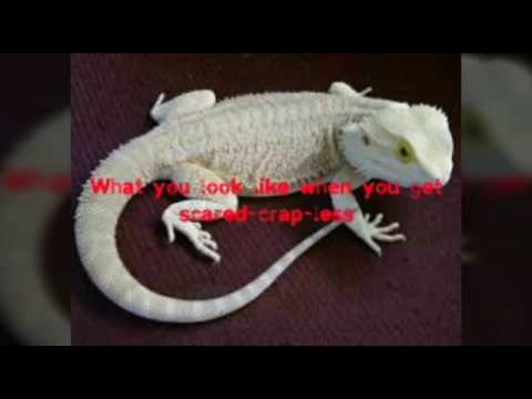 Some Average Funny Bearded Dragon Memes Youtube