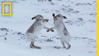 Boxing Match: Watch Female Hare Punch Her Suitors | National Geographic