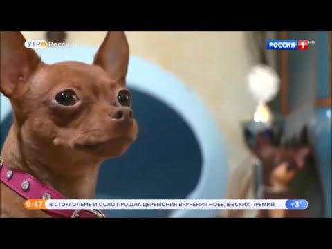 """О породе Русский той - Россия 1 """"Утро России"""""""