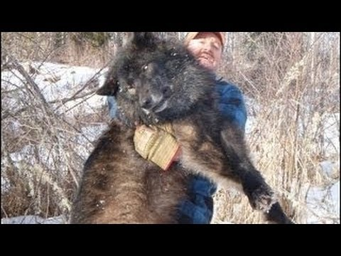 Radioactive Wolves Of Chernobyl Scary Mutations Full Documentary
