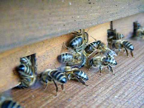 Honey Bees Crackling