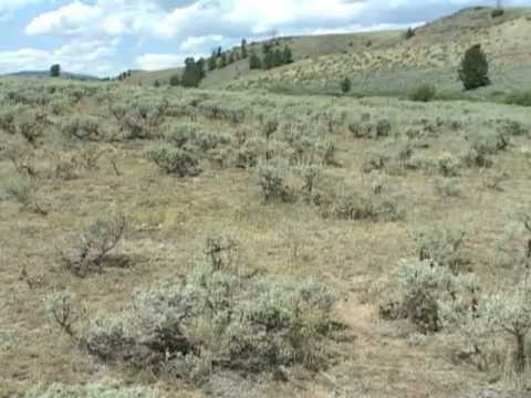 Sagebrush Species