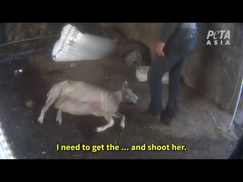 BREAKING: Sheep Beaten, Kicked, Cut, and Thrown Around in Sc